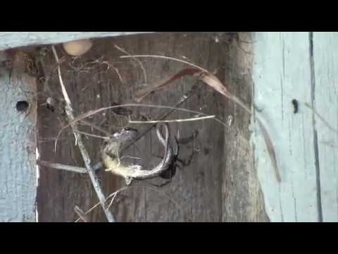 Massive Redback Spider (Latrodectus hasseltii) lunching on a Skink