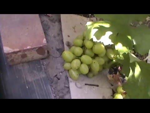 Сорт винограда Дарья - сезон 2015