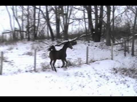 """Johnny"" - 2 year old American Saddlebred Colt"
