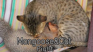 Mongoose and cat fight