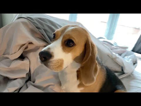 Sleepy beagle would rather stay in bed until all this is over