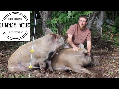 How We Raise Our Pigs On Pasture