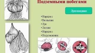Вегетативное размножение растений.AVI