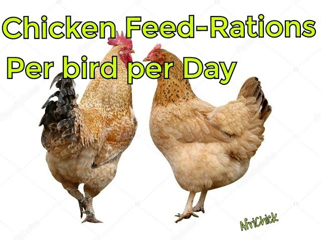 How much food to give chicken per day