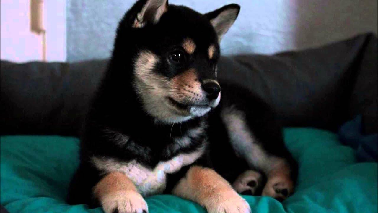 A Cute Puppy Wallpaper Cute Black Shiba Inu Puppy Kimiko Youtube