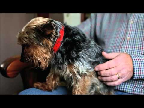 Tiny Yorkshire Terrier becomes Britain's oldest dog