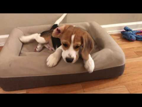 Beagle puppy waking up: rubs his eyes, bites his tail