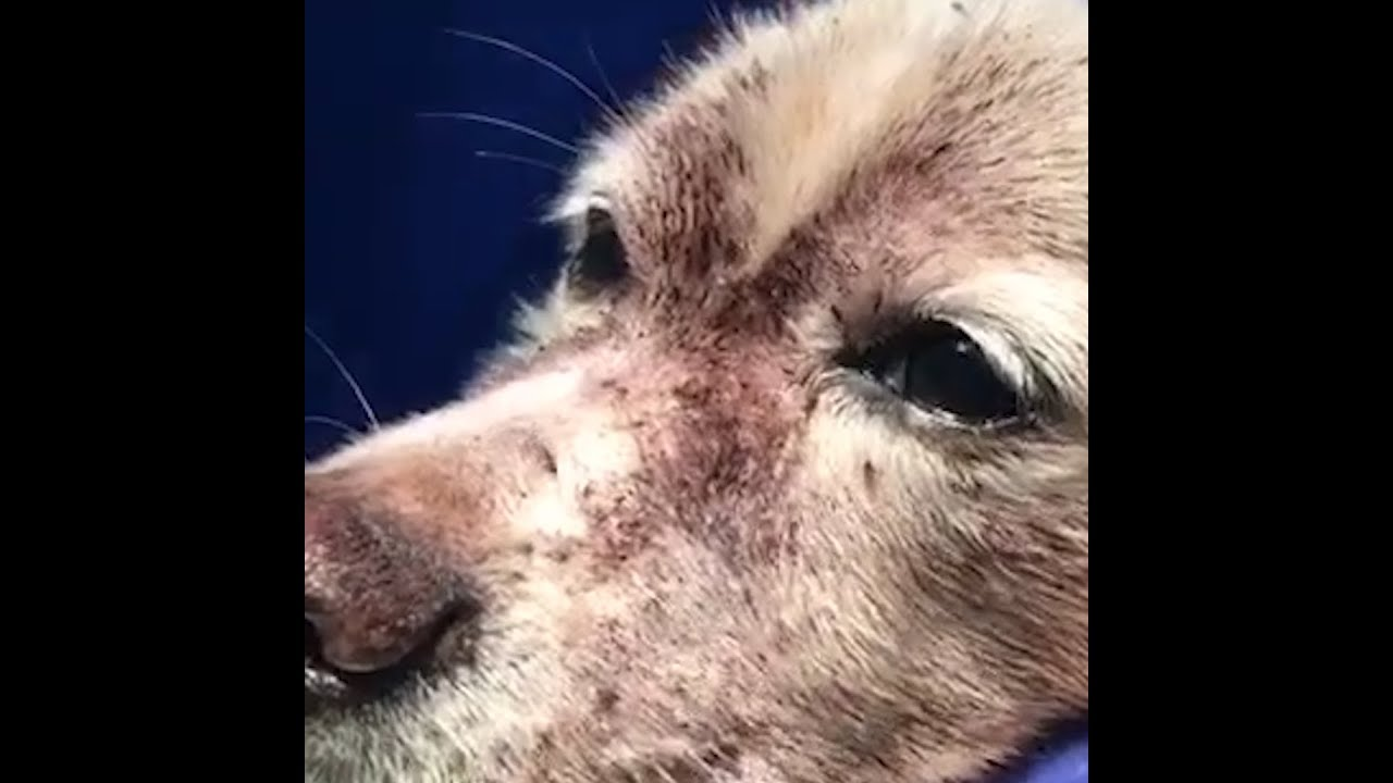 Dog Nearly S From Extreme Flea