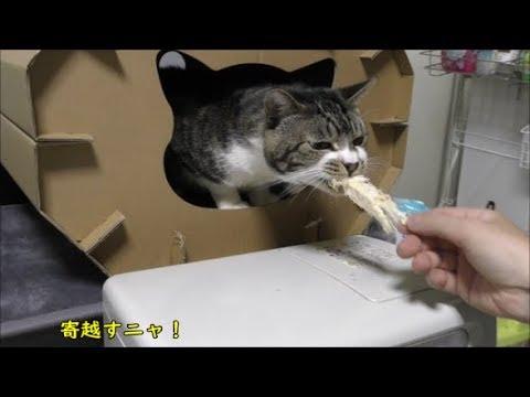 家に籠る猫をどうにかして釣りたい!!あの手この手で頑張ってみる☆その1☆キャットハウスから出てこないリキちゃん【リキちゃんねる 猫動画】Cat video キジトラ猫との暮らし