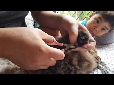 Samsun and I:Cutting the sharp nails of Norwegian Forest Cat