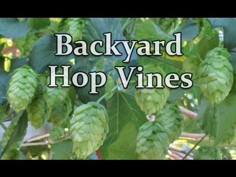 Backyard Hop Vines Grown Organically (1st Year)