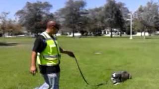 Rdt Oxnard Ca-basic Obedience Training W/ Chupis (pitbull)