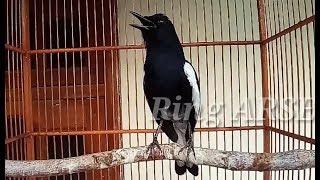LANGSUNG   terapi burung KACER agar ikut BUNYI PERLAHAN dengan ocehan burung ini