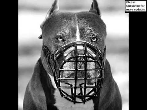 Pictures Of Dog Muzzle Pitbull | Dog Muzzle Pitbull Dogs