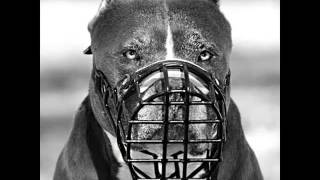 Pictures Of Dog Muzzle Pitbull | Dog Muzzle Pitbull Dogs