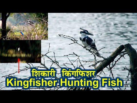 Kingfisher Hunting Fish