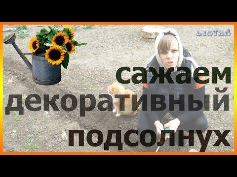 Как посадить декоративный подсолнух дома Сеем декоративный подсолнух Подсолнечник для дачи