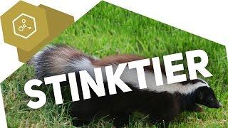 Warum stinkt das Stinktier? chemisch betrachtet
