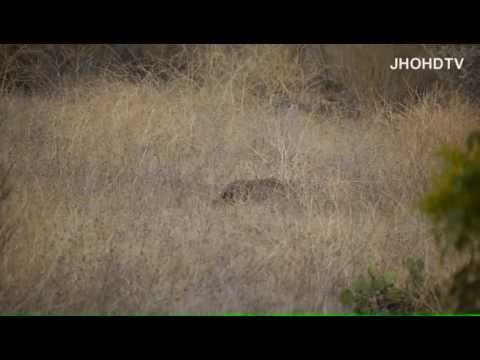 Bobcat hunting in San Bernardino NF 8 Nov 2012. Lynx rufus, predator, Cat.
