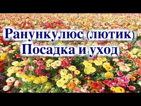 как выглядит цветок лютик - цветы фото