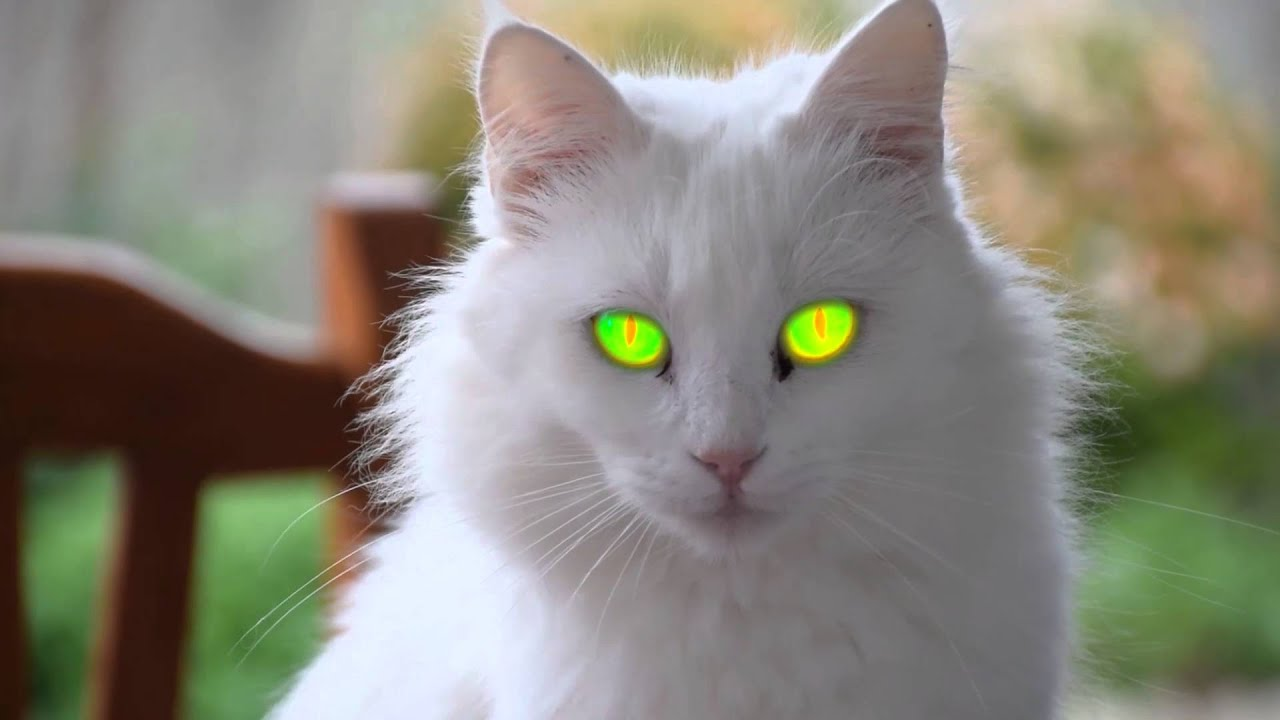 The most beautiful white cat with evil eyes
