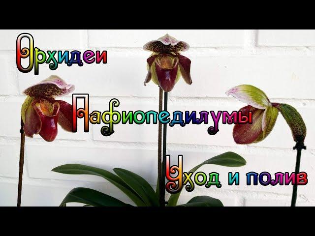 Моя коллекция орхидей Paphiopedilum