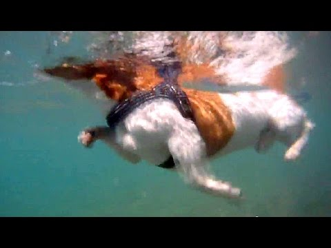 Swimming / Surfing dog - Bono (Jack Russell Terrier on holidays) UNDER WATER HD