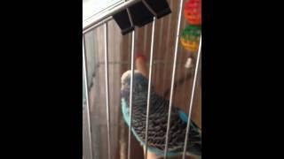 Кашель+рвота у волнистого попугая