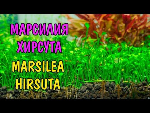 МАРСИЛИЯ ХИРСУТА ( MARSILEA HIRSUTA )