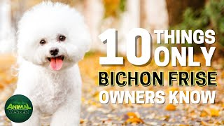 10 Things Only Bichon Frise Dog Owners Understand