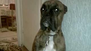 Боксер устроил погром пока был один дома(Очередная (НОВАЯ) серия тут: http://youtu.be/hG9_PZqUTus Когда я вернулся с работы домой, Кэп уже сидел с виноватым..., 2010-05-12T19:18:00.000Z)