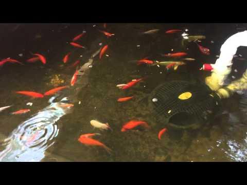 Goldfish and koi in aquaponics system youtube for Koi aquaponics
