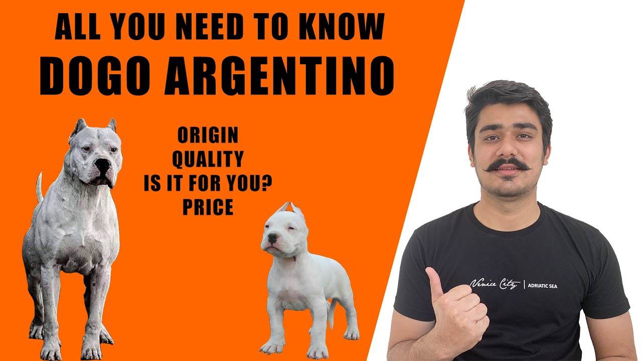 Dogo Argentino Dog India Can Dogo Argentino Be A Family Dog Dogo Argentino Puppies Price In India Youtube