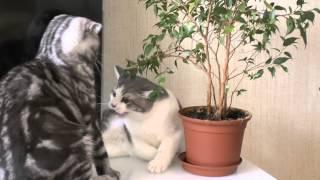 Коты развлекаются Британец и Шотландец