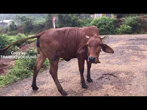 WOW!!!! Cách phối giống cho bò 14 |  Cow breeds | Bò Nọc Trại Bò QUỐC HÙNG