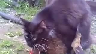 Кот поймал и трахает курицу ( УГАР и ЖЕСТЬ)