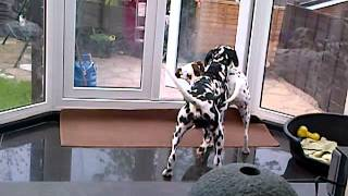 Failed Attempts At Dalmatian Mating
