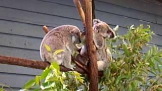 澳洲行 無尾熊其實也可以很活潑的 thumbnail