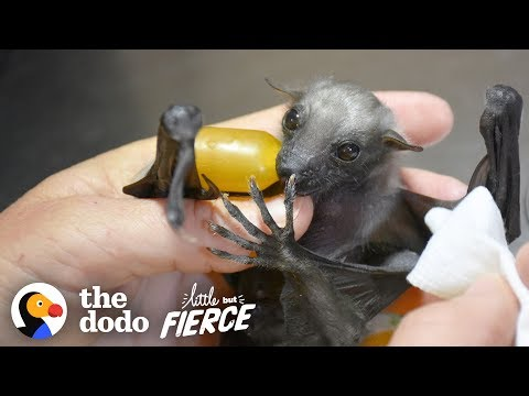 Watch This Tiny, Fuzzy Bat Grow Up to Be a Muscleman   The Dodo Little But Fierce