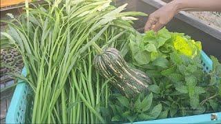 Ngày nào cũng thu hoạch các loại rau đủ ăn trong ngày  | Khoa Hien 433