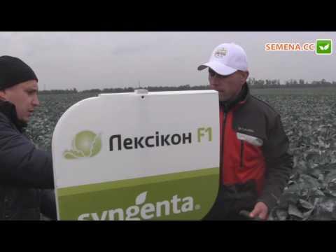 Лексикон F1 капуста (Syngenta) День поля