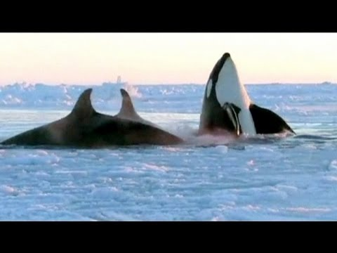 Liberate Dal Ghiaccio Le 12 Orche Imprigionate In Quebec
