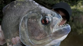 The BIGGEST PIRANHA Species on the Planet - Chasing Monsters