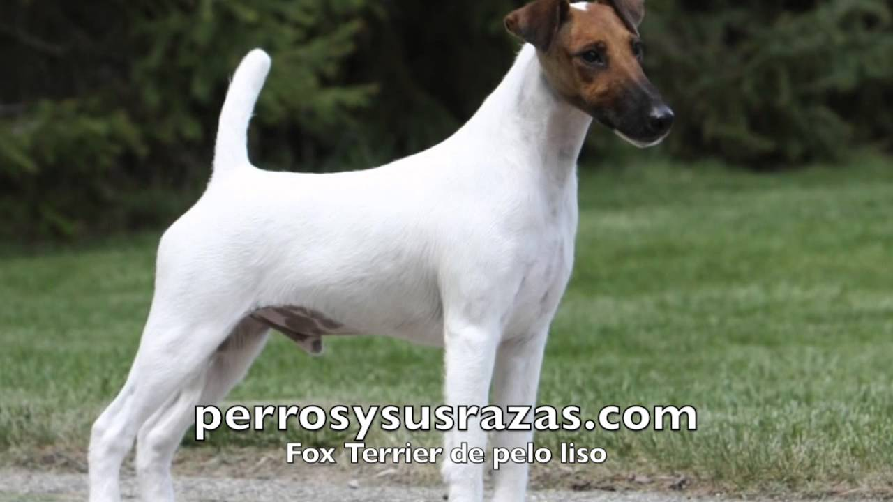 Fox Terrier de pelo liso - YouTube