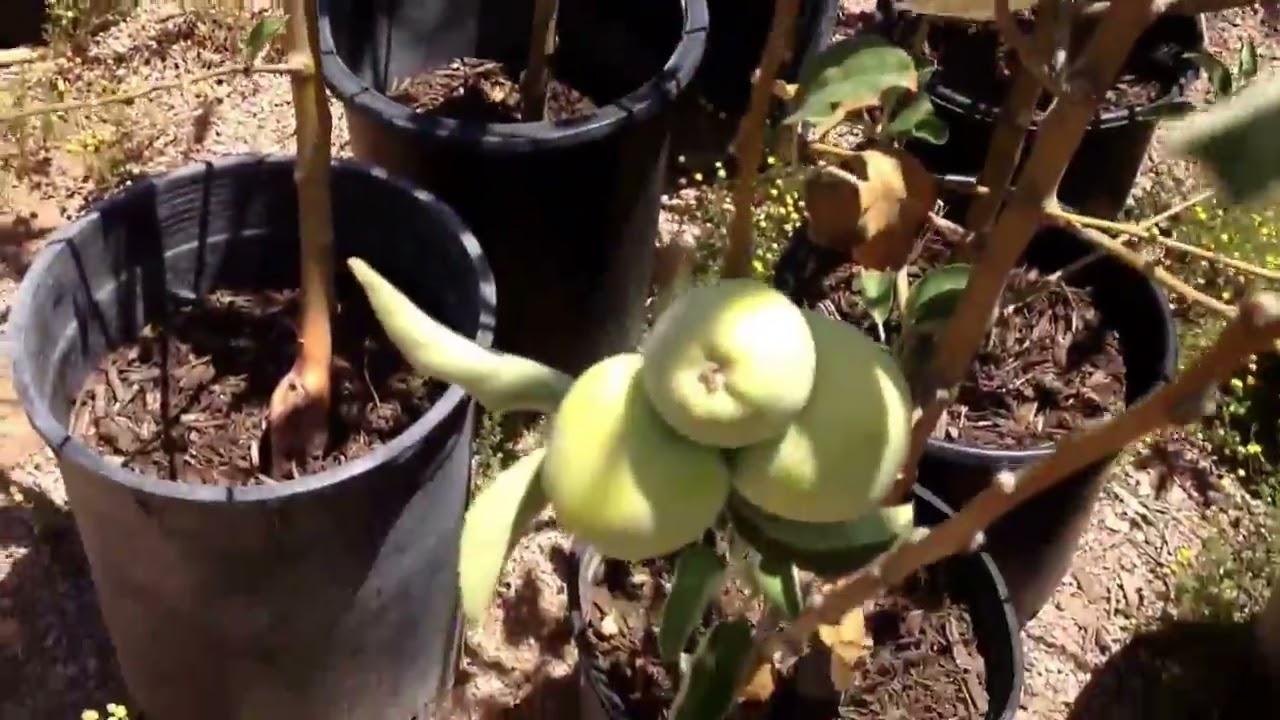 Nursery tour, Tropica Mango Rare And Exotic Tropical Fruit Tree Nursery