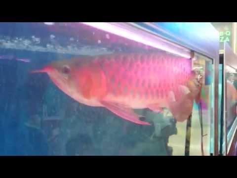 ปลามังกรแดง อโรวน่าแดง