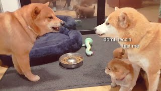 daddo-got-mom-very-a-m-g-e-r-y-shiba-inu-puppies-with-captions