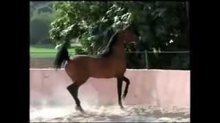 Самые изящные лошади арабские avi