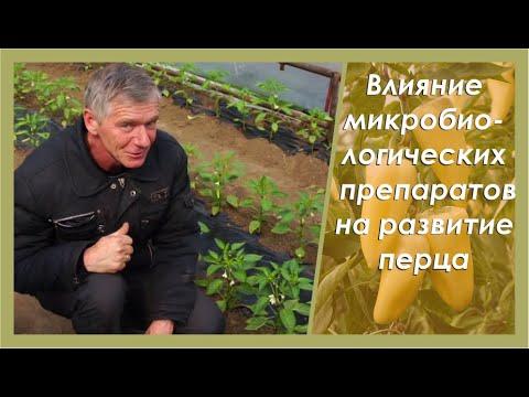 Как выращивать томаты черные