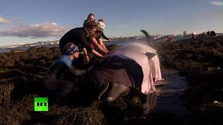 Dramatic rescue: Icelanders free beached bottlenose whale